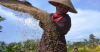 Nielsen: Beras Murah Justru Mematikan Profesi Petani