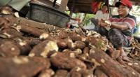 Singkong dan Kacang Mete Go International