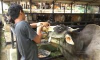 Istimewanya Sapi Kurban Jokowi, Mandi 2 Kali Sehari dan Diberi Minum Jamu Khusus