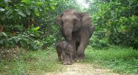 Habitat Kebanjiran, Belasan Gajah Sumatera Masuk Perkebunan Warga