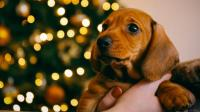 Di Jerman, Anjing Tak Boleh Lagi Dijadikan Hadiah Natal