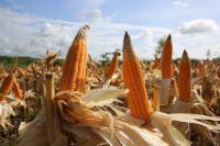 Kementan Tegaskan Produksi Jagung Mencukupi Kebutuhan Pakan