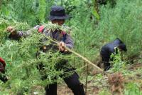 Polisi Temukan 1,5 Hektare Ladang Ganja Diduga Ditanam Mahasiswa