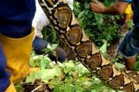 Pria Ini Injak Ular 6 Meter yang Baru Saja Menelan Sapi