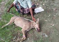 Pertama Kali Muncul di Bangladesh Sejak 1949, Serigala Langka Mati Dipukuli Petani