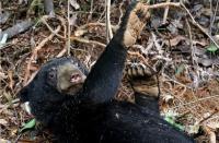 Ahmad Syafei Diserang Segerombolan Beruang saat Mengukur Tanah