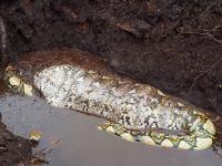 Ular Piton Raksasa Ditemukan Sedang Makan Babi di Kebun Sawit