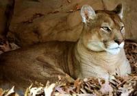 Wanita California Tinju Singa Gunung demi Selamatkan Anjing Peliharaan