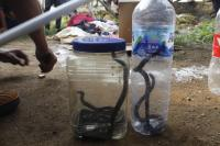 Puluhan Ular Kobra Teror Warga Purwakarta