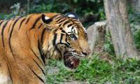 Masuk Hutan Lindung, BKSDA Sumsel Tak Bisa Evakuasi Harimau yang Mangsa Manusia