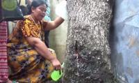 Pohon Akasia Menangis seperti Suara Perempuan Gegerkan Warga Jember