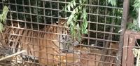 Harimau Sumatera Ditangkap, Redakan Konflik Manusia dan Hewan Liar di Muara Enim