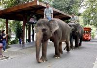 Dua Gajah di Kebun Binatang Yogyakarta Bersiap Melahirkan
