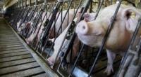 Jateng Waspadai Wabah Penyakit Demam Babi Afrika