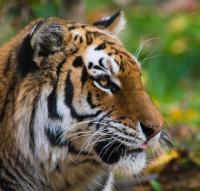 Harimau di Kebun Binatang New York Dikonfirmasi Positif Virus Corona