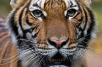 Kondisi Harimau yang Positif Virus Corona Membaik
