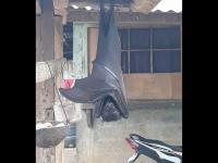 Kelelawar Sebesar Manusia Bergantung di Atap Rumah Filipina Jadi Viral, Hebohkan Warganet