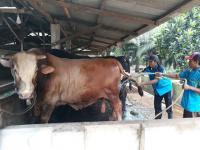 Presiden Jokowi Beli Sapi Berbobot 1 Ton dari Peternak Bantul untuk Kurban