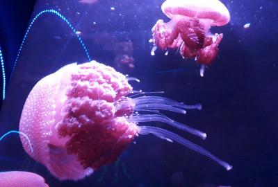 Seaworld Ancol Hadirkan Spesies Ubur-Ubur Baru Menjelang Libur Akhir Tahun