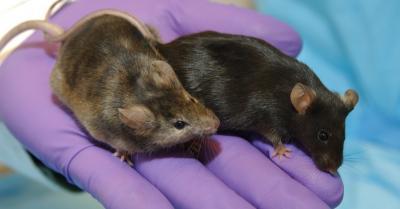 NASA Amati Perilaku Tikus di Stasiun Luar Angkasa, Ini Videonya