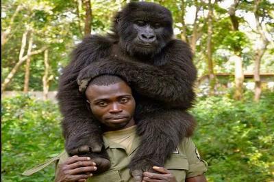 Selfie Mesra Pejuang Anti Perburuan Hewan dengan Gorila
