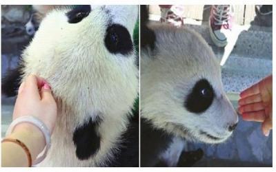 Sentuh Bayi Panda, Wanita Ini Diserbu Netizen