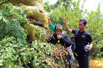 Mencicipi Kelengkeng Rasa Durian di Desa Sigit