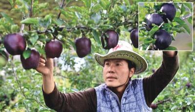Apel Hitam Langka Seharga Rp800 Ribu, Pernah Coba Gak?