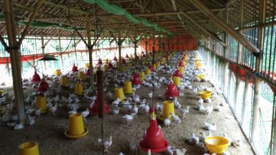 Harga Anjlok, Sultan: Peternak Bisa Tolak jika Ayam Dibeli Murah