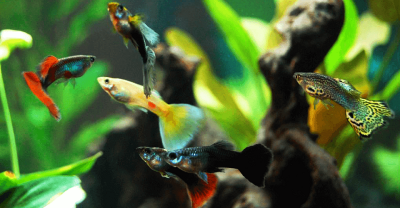 Semakin Digemari Banyak Kalangan, Ini Keunikan Ikan Guppy