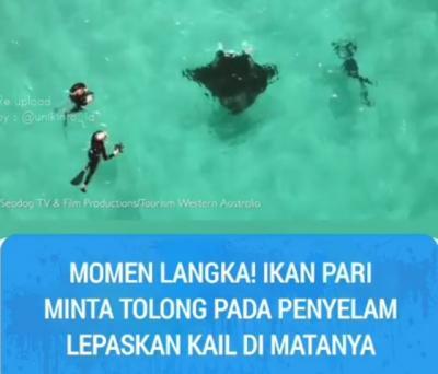 Kesakitan! Ikan Pari Terpaksa Minta Tolong Penyelam Lepaskan Kail di Matanya