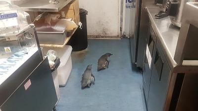 Menyelinap ke Restoran, 2 Ekor Penguin Diamankan Polisi