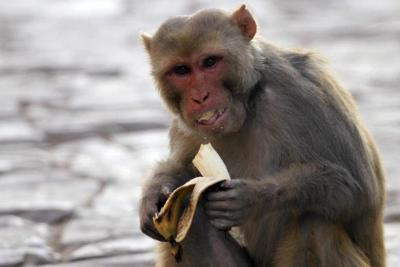 Diserang Monyet Liar, Bocah 7 Tahun Alami Luka Parah