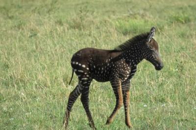 Zebra Langka Ditemukan di Afrika, Coraknya Bintik-Bintik seperti Hyena