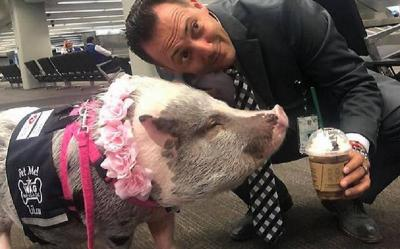 Ini Penampakan Lilou, Si Babi Penghibur di Bandara