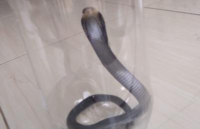 Tips dari Warga Citayam agar Ular Kobra Tak Masuk ke Rumah