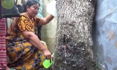 Kenapa Pohon Akasia di Jember Bisa 'Menangis'? Ini Penjelasan Secara Ilmiah