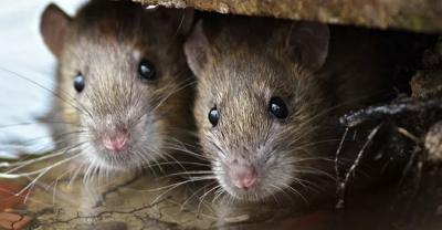 Leptospirosis Mengancam Pasca-Banjir, Kenali Gejala Penyakit Kencing Tikus Ini