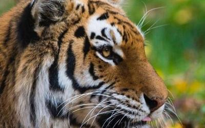 Harimau Betina di Kebun Binatang Terinfeksi Virus Corona COVID-19