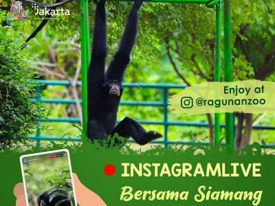 Besok Kebun Binatang Ragunan Siarkan Live Streaming Siamang, Catat Jamnya!