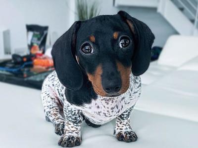 Penampakan Moo, Anjing Dachshund Bertubuh Dalmantian