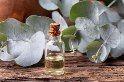 IDI Kerjasama Riset Eucaliptus dengan Kementan Menuju Uji Klinis
