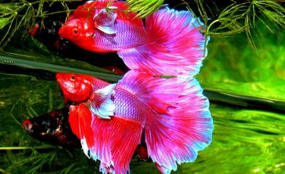 Ikan Cupang Harganya Jutaan, Wajarkah?