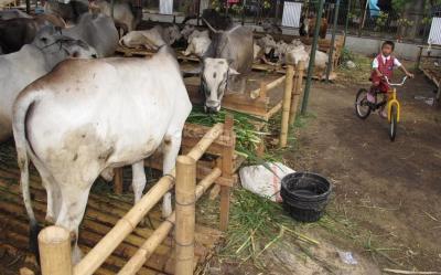Penjualan Sapi Lesu Jelang Idul Adha, Peternak 'Gigit Jari'