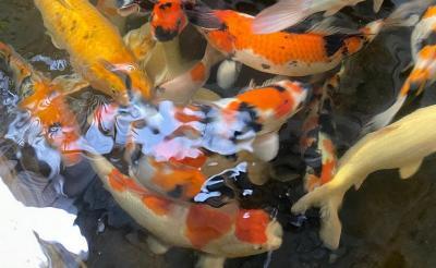 Cerita Ilham Aniah, Rela Habiskan Ratusan Juta Rupiah Demi Ikan Koi